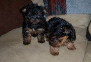 Tea Cup Yorkshire Terier Puppies For Sale